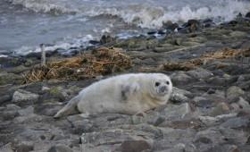 Robbe auf der Insel Juist